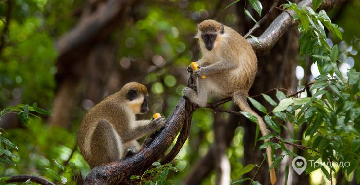 Картинки по запросу барбадос обезьяны фото